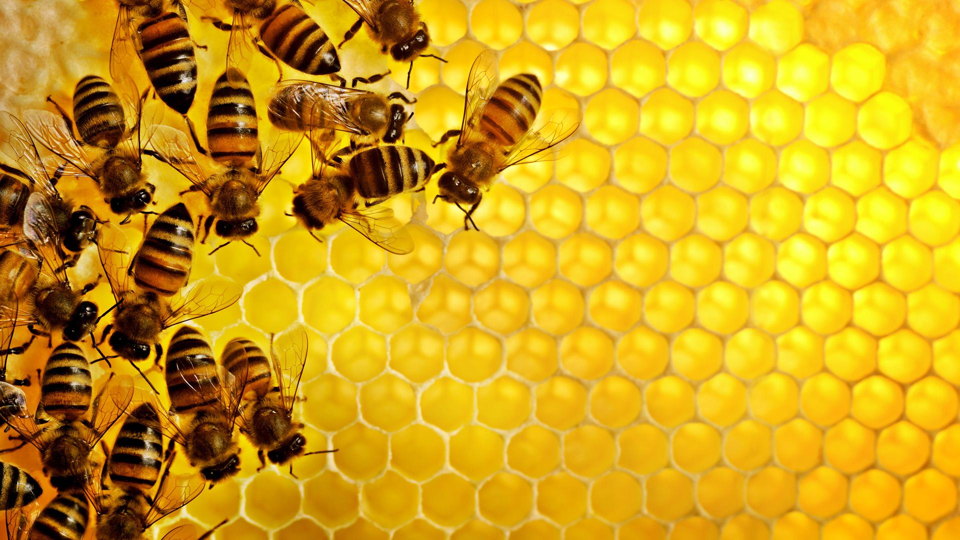 медовые соты, пчелы, скачать фото, мед, обои для рабочего стола