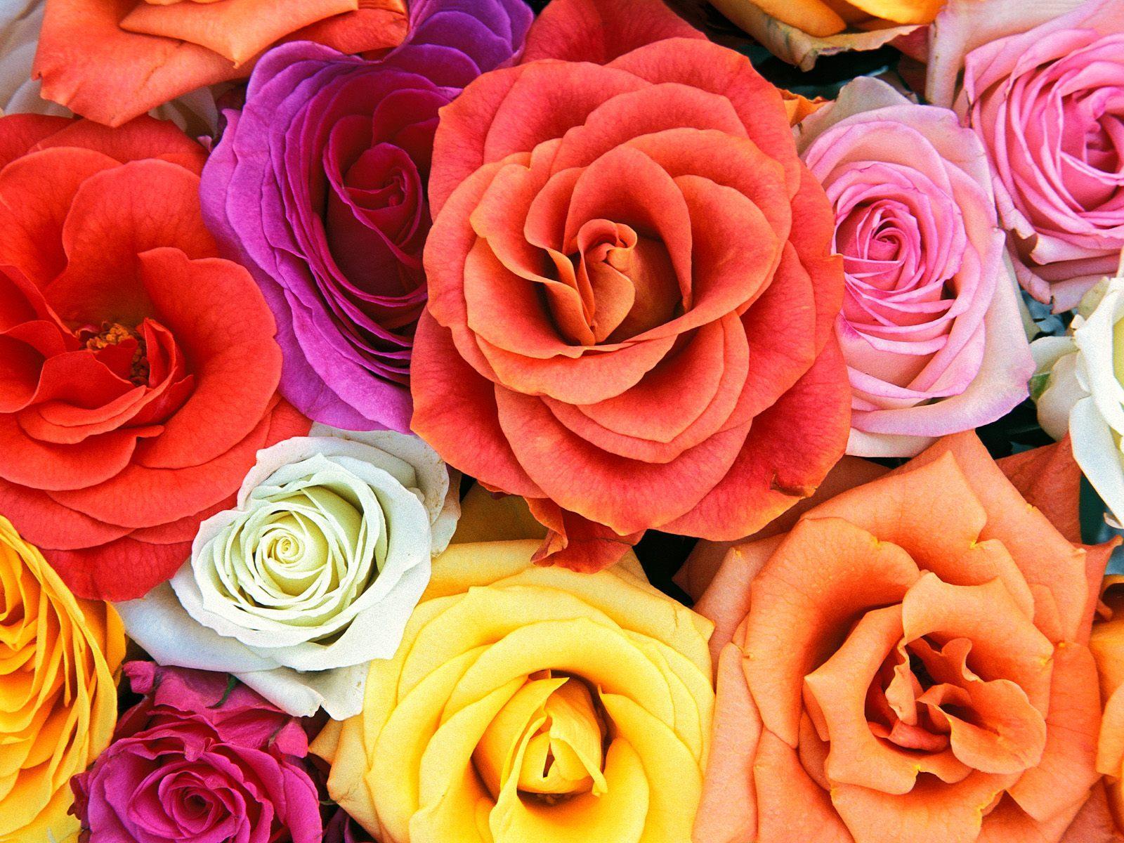 много разноцветных роз, розы, скачать фото