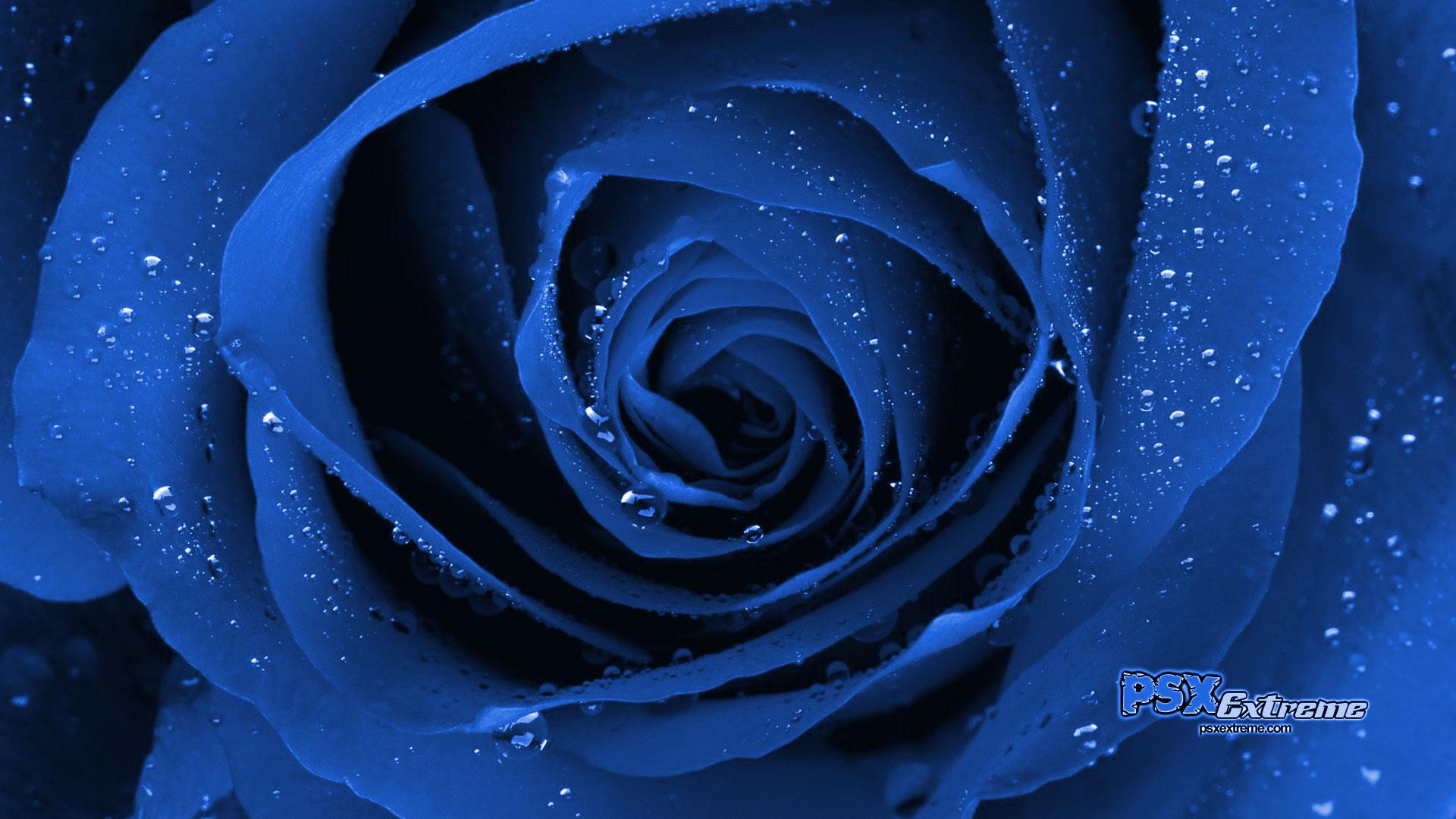 синяя роза, blue rose, wallpaper, обои для рабочего стола
