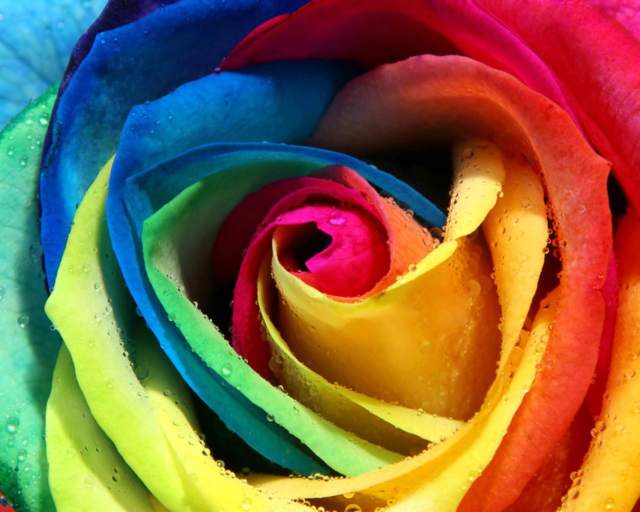 розноцветная роза, скачать фото, обои для рабочего стола, цветок крупным планом