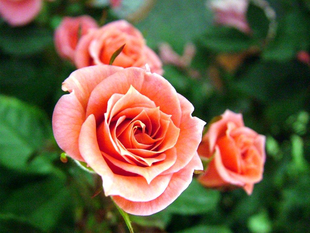 три розовых розы, кремовые розы, скачать фото, обои для рабочего стола