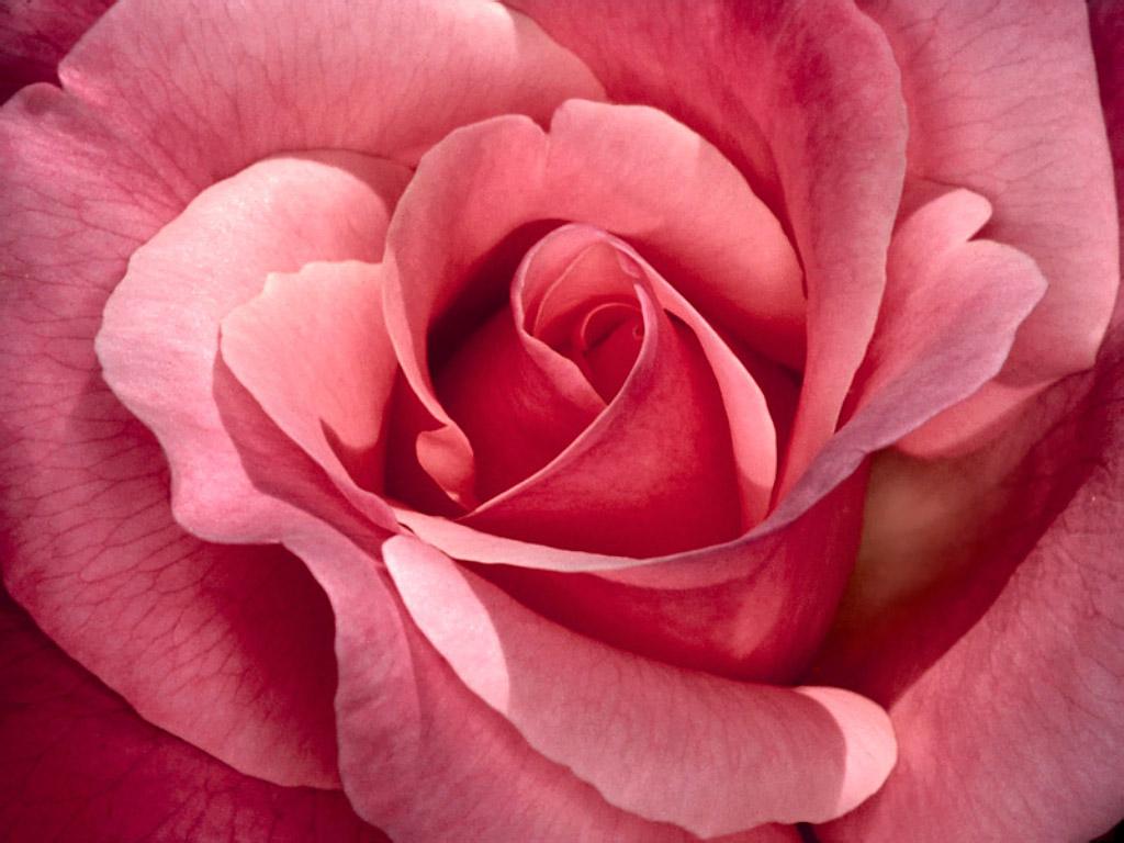 розовая роза крупным планом, скачать фото, обои на рабочий стол