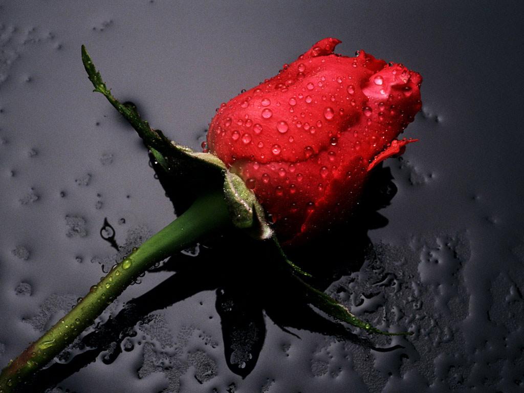 красная роза в капельках воды, скачать фото, обои на рабочий стол
