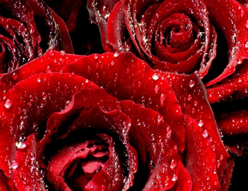 red rose wallpaper, скачать фото, красные розы, обои для рабочего стола