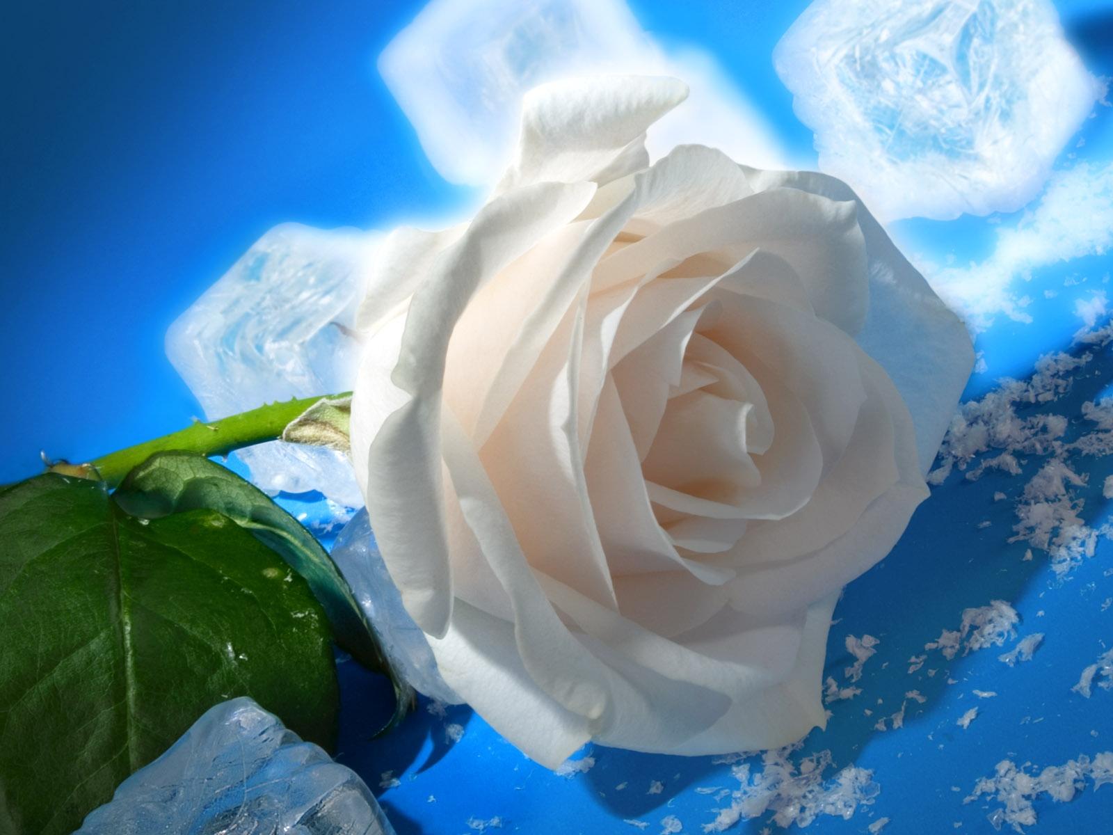 белоснежная роза на льду, скачать фото, белая роза, розы