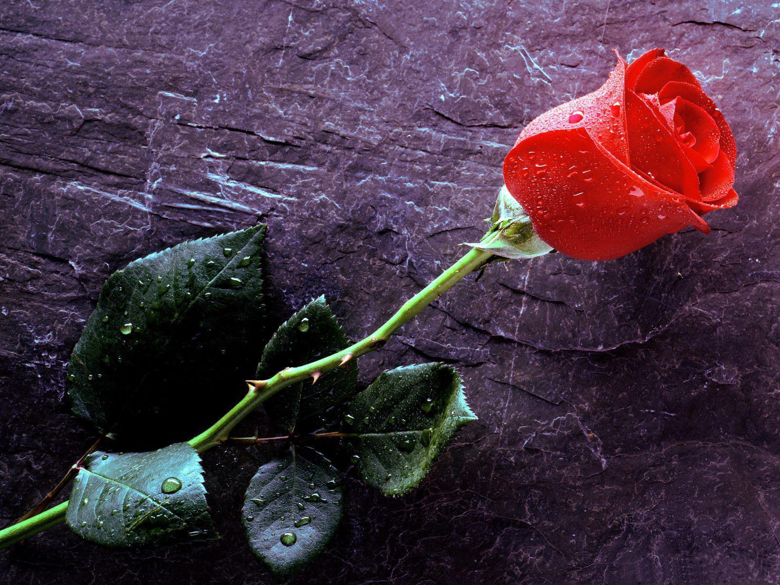 алокрасная роза но камне, скачать фото, обои для рабочего стола