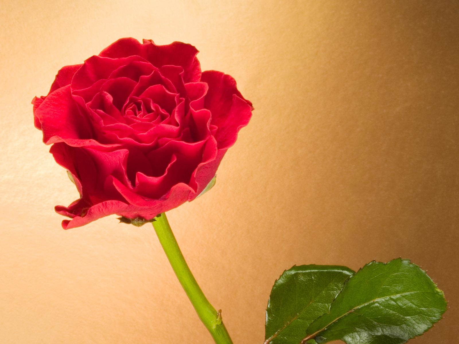красная роза на бежевом фоне, скачать фото
