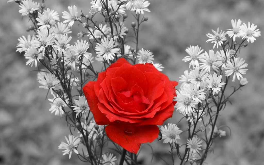 алая роза на сером фоне, скачать фото
