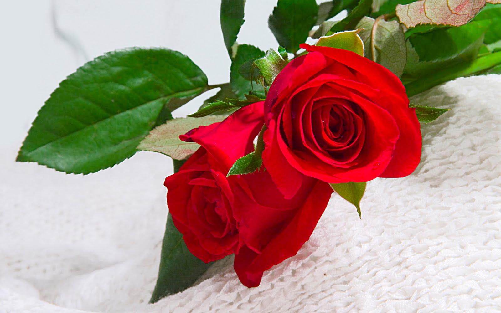 две красных розы, скачать фото, обои для рабочего стола