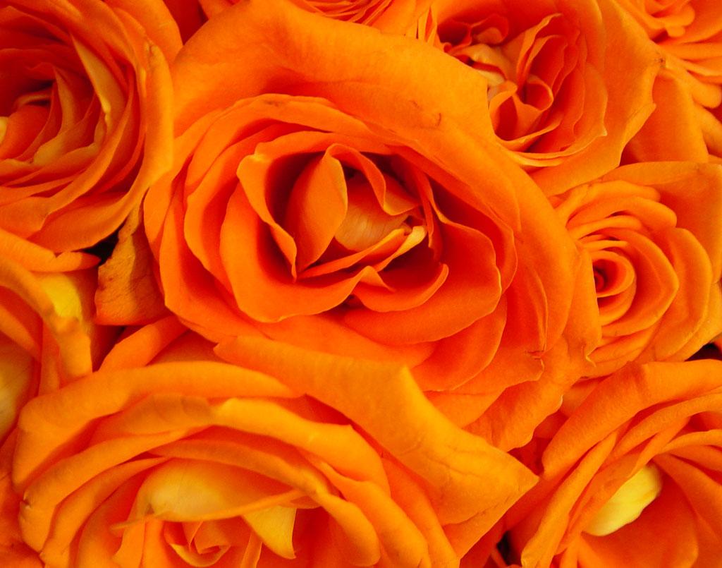orange roses, оранжевые розы, скачать фото, обои для рабочего стола
