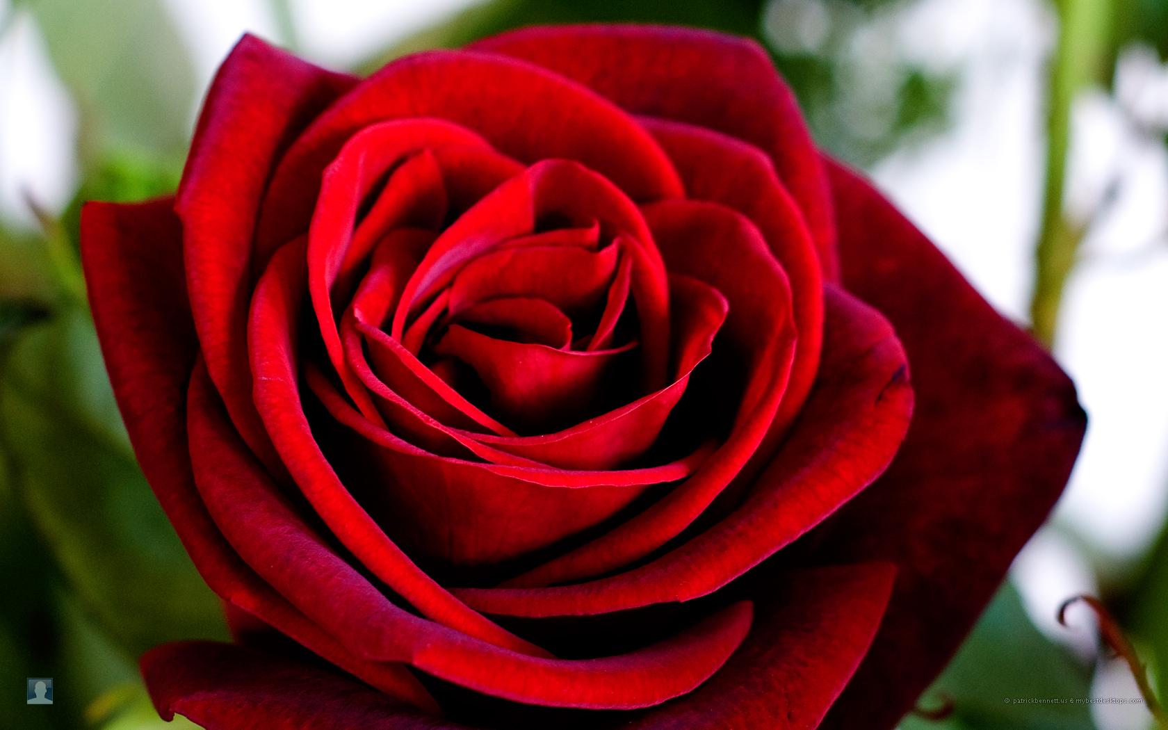 red rose, скачать фото, обои для рабочего стола, красная роза