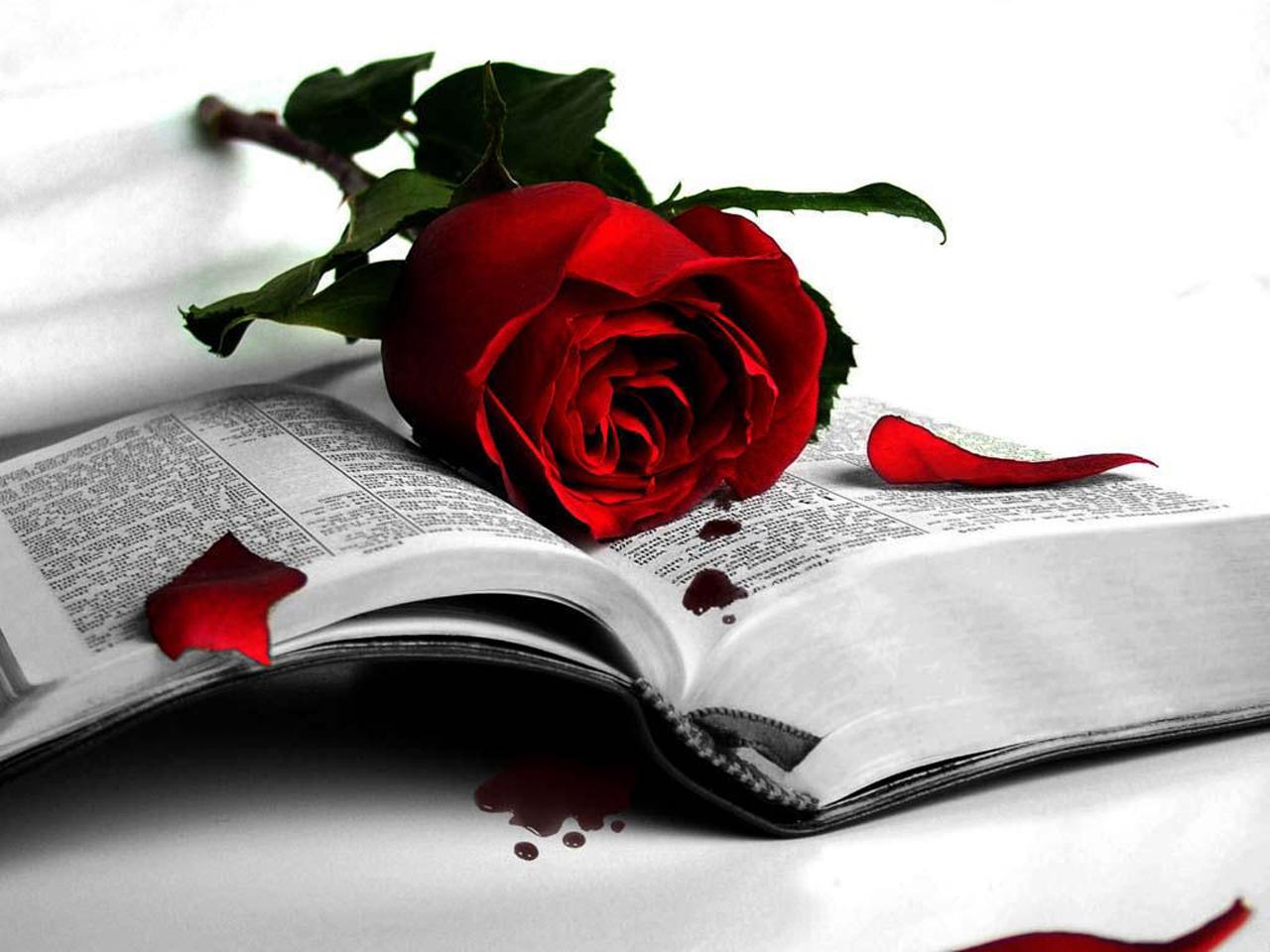 красная роза на книжке, скачать фото, обои для рабочего стола
