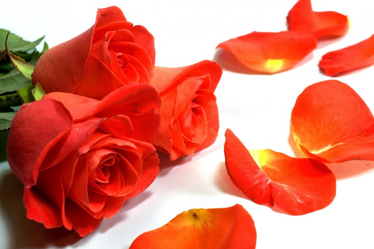 красные розы и лепестки роз, на белом фоне, скачать фото, обои на рабочий стол