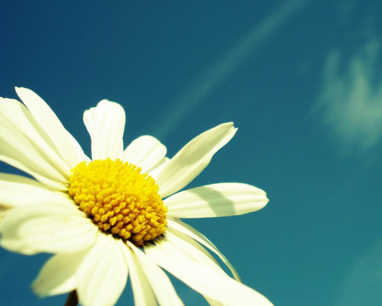 цветок ромашка на фоне голубого неба, скачать фото, обои для рабочего стола