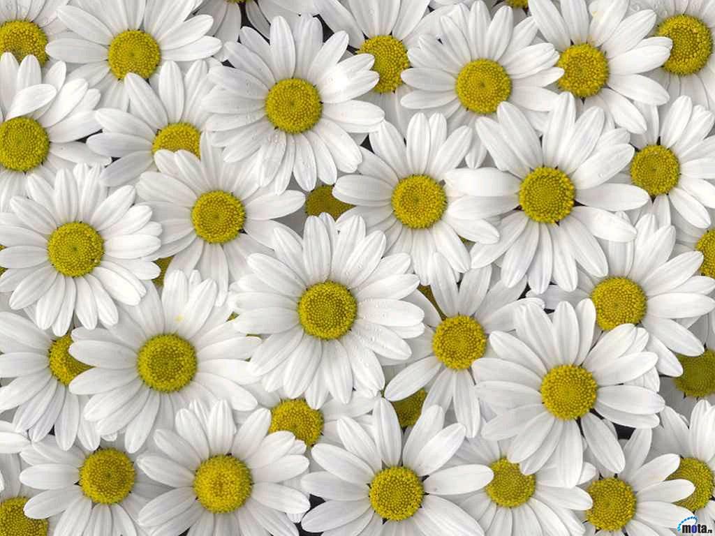 Много ромашке ромашки цветы обои на
