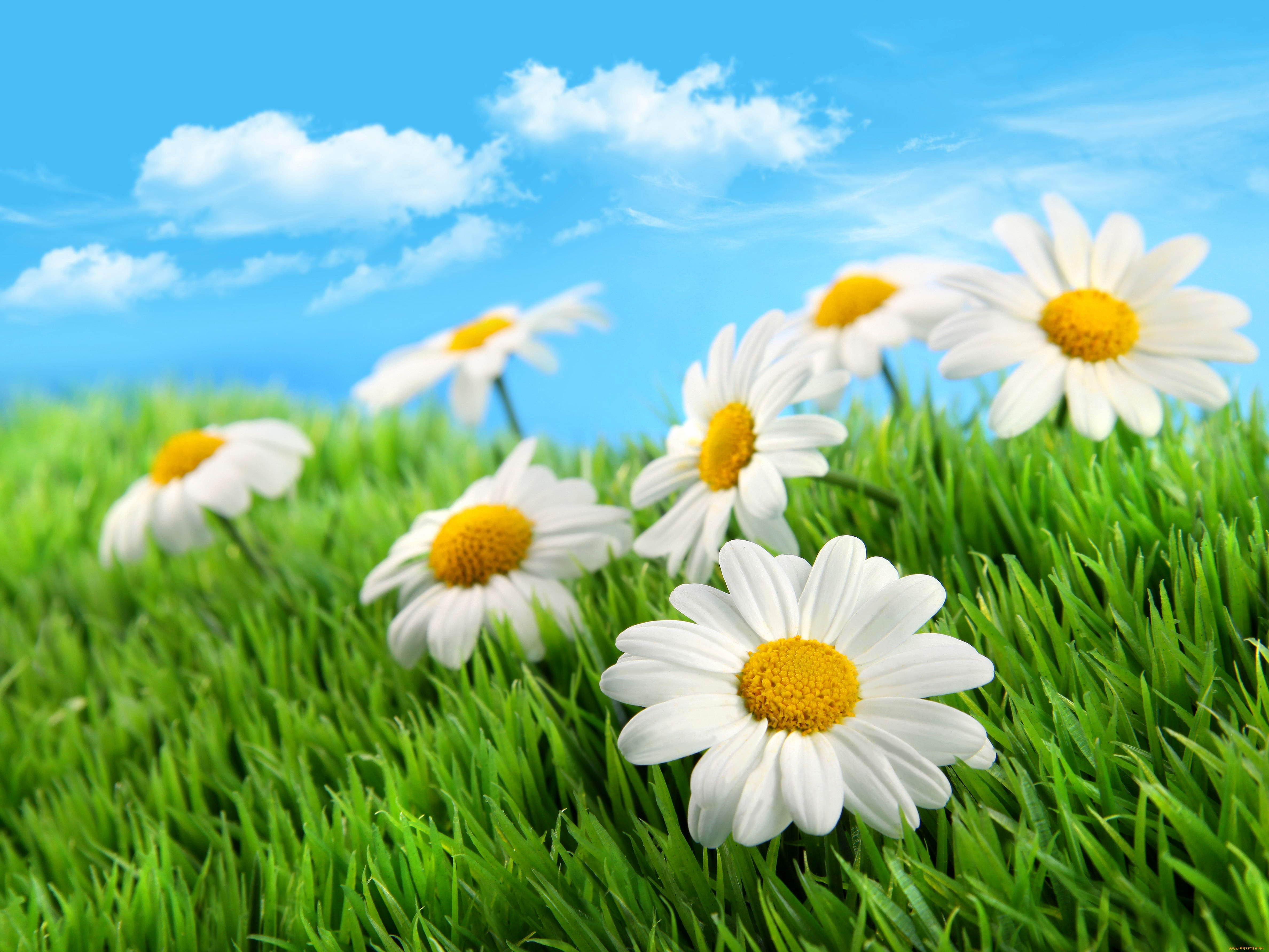поле, трава зеленая, белые цветы ромашки, скачать фото