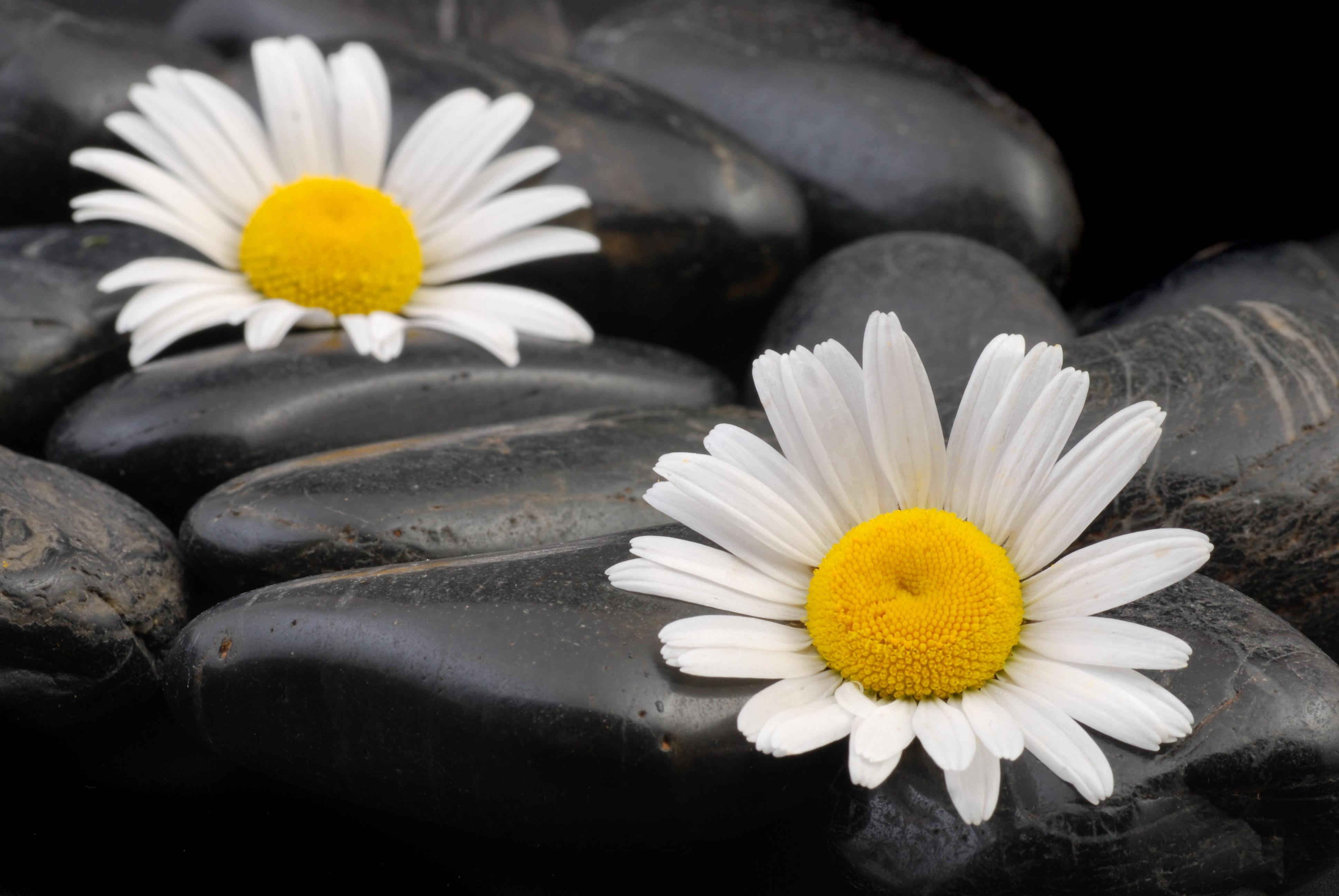 ромашки растут среди камней, скачать фото, обои для рабочего стола
