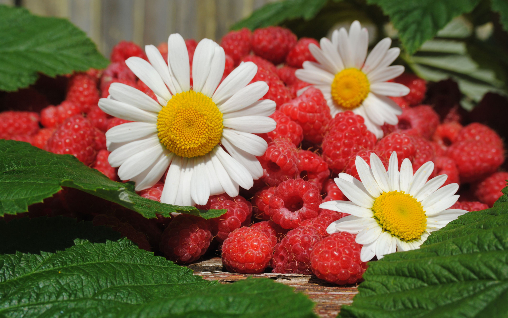 белые ромашки среди ягод малины, скачать фото, обои для рабочего стола