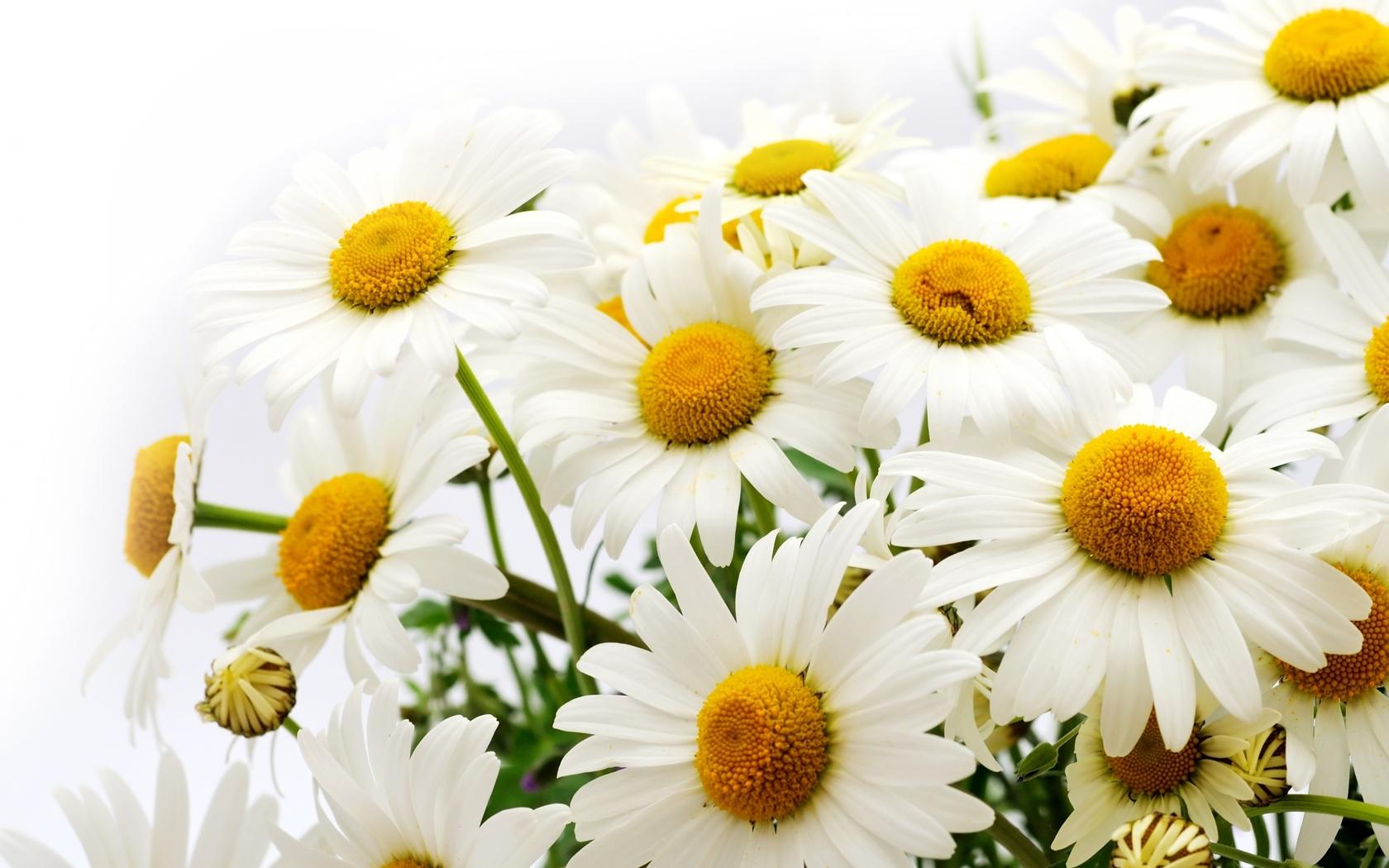 букет белых ромашек, цветы, скачать фото, обои на рабочий стол