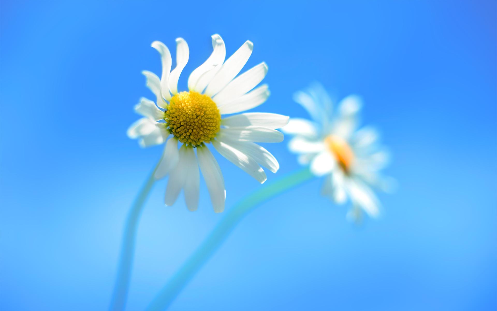две белоснежных ромашки на фоне голубого неба, скачать фото