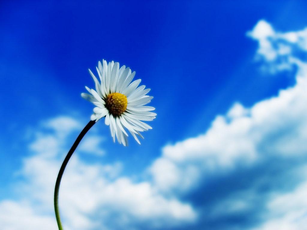 белый цветок, ромашка на фоне синего неба и облаков