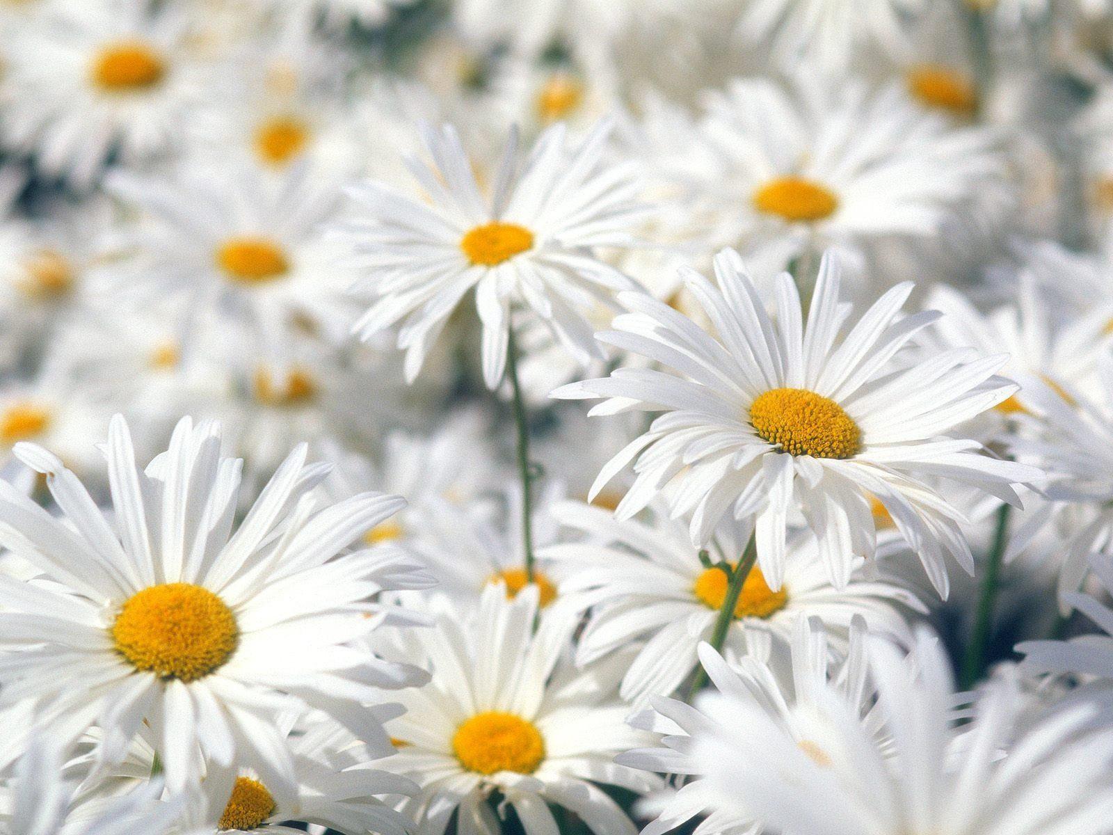 Цветы скачать обои для рабочего стола