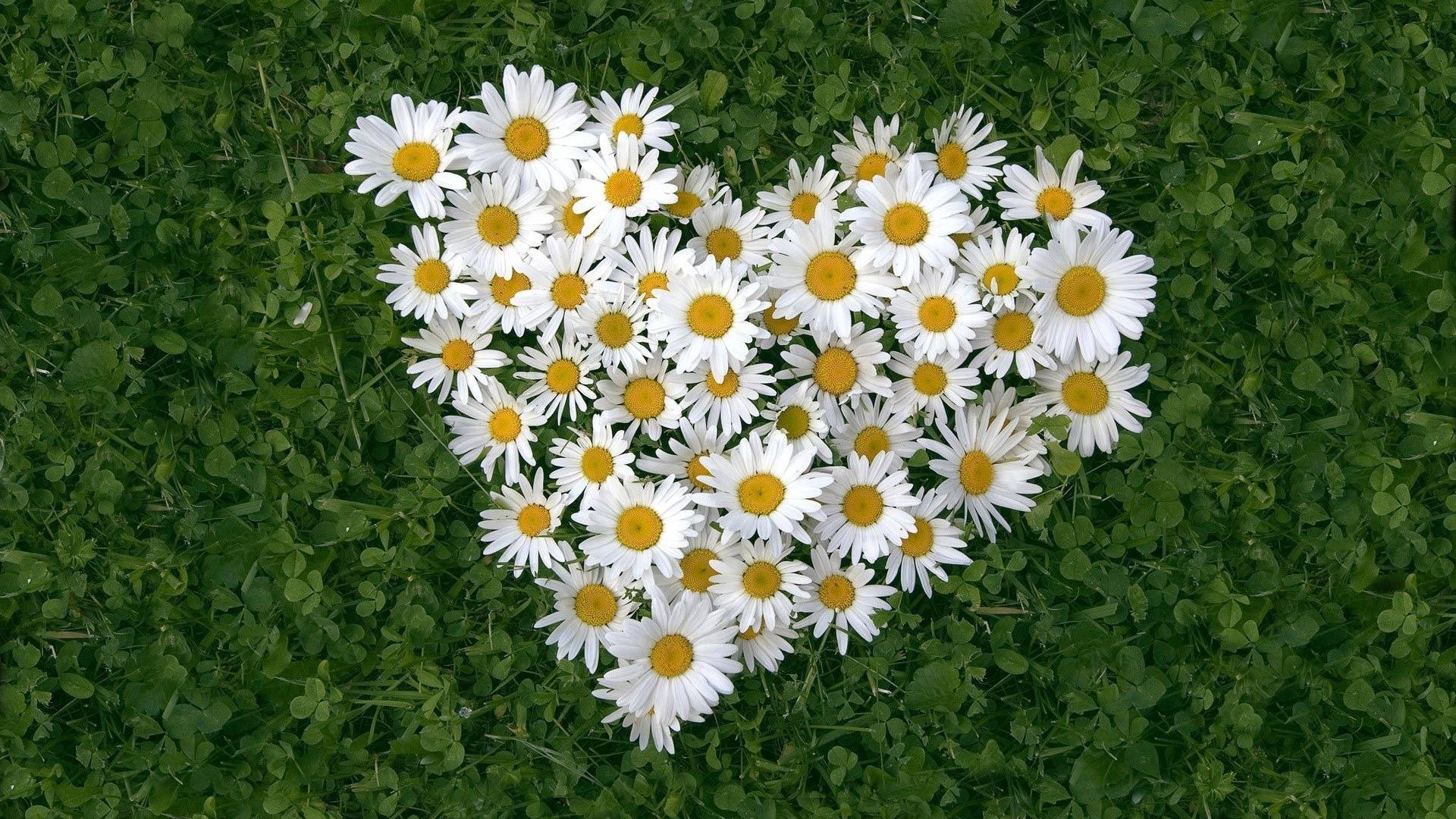 большое сердце из ромашек среди зеленой травы, скачать фото, обои для рабочего стола