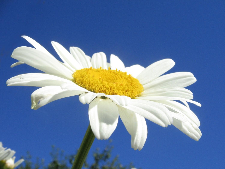 белая ромашка на фоне голубого неба, скачать фото, обои для рабочего стола