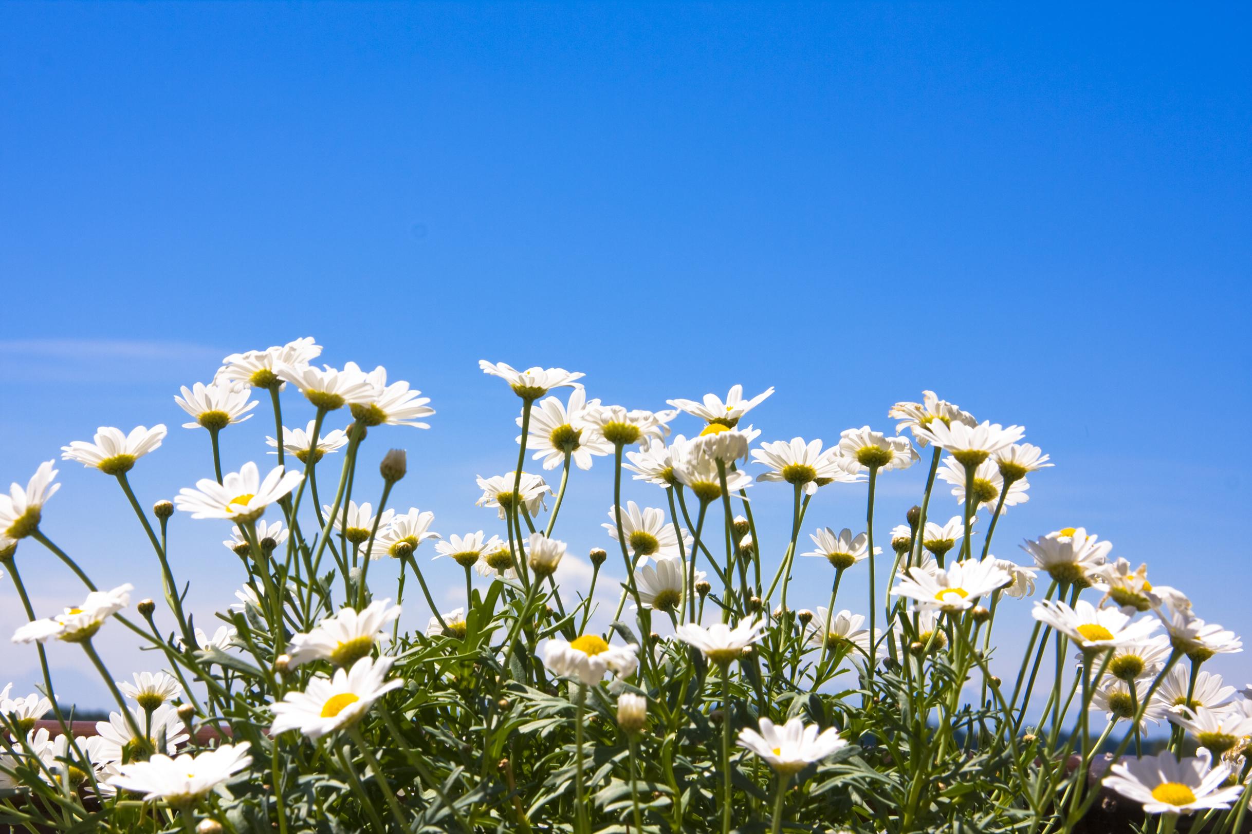 много белых цветов, ромашки на фоне голубого неба, скачать фото