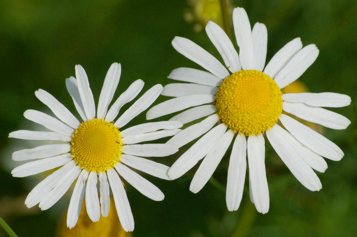 две белых ромашки на фоне зеленой травы, скачать обои для рабочего стола