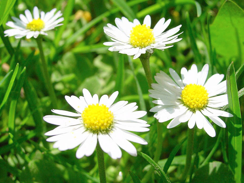 белые ромашки среди зеленой травы на солнце, скачать фото