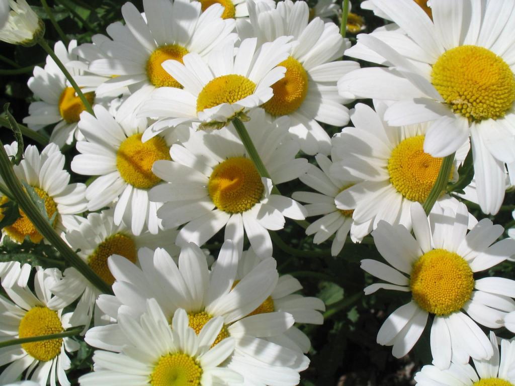 ромашки, белые цветы, скачать фото, обои на рабочий стол