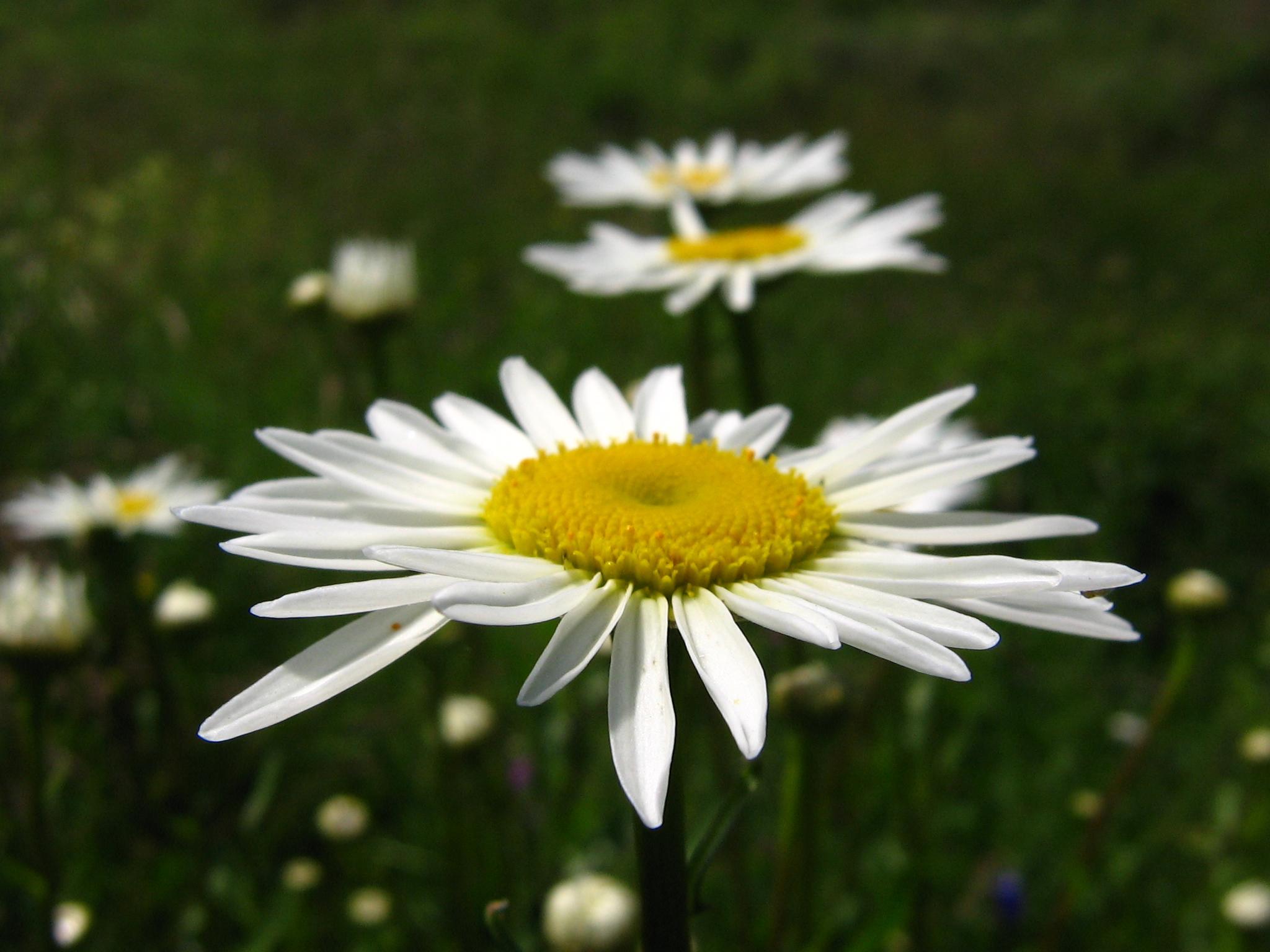 белые цветы ромашки, скачать фото, обои на рабочий стол