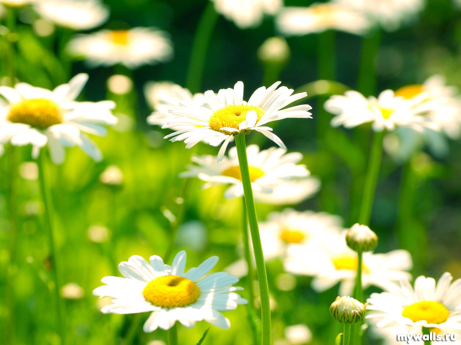 ромашки, белые цветы, скачать фото, обои для рабочего стола