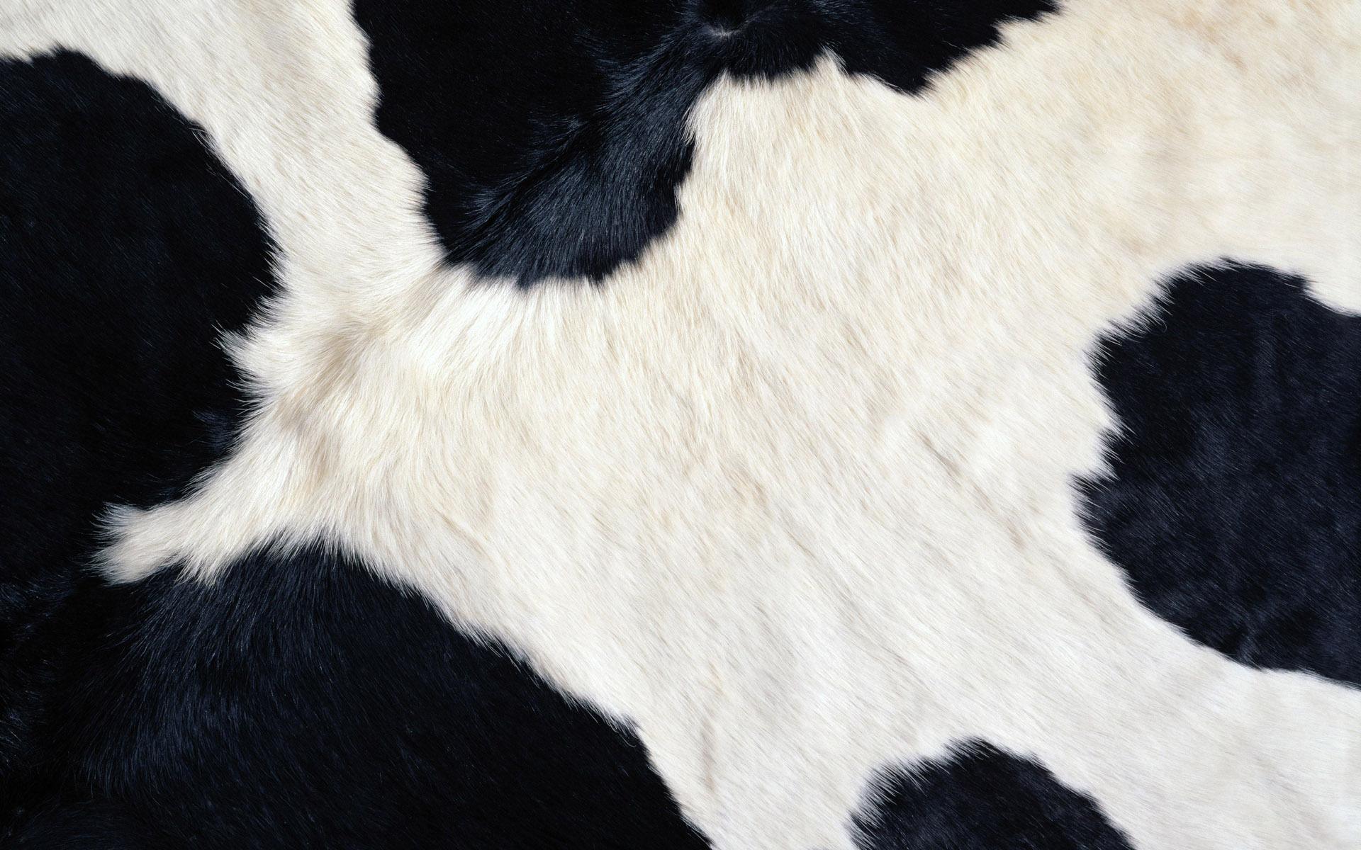 пятнистая шкура коровы, фото, обои для рабочего стола