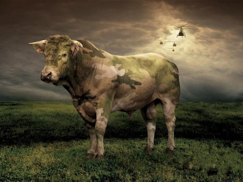 фото, боевая корова, корова в камуфляжной окраске, скачать фото, обои для рабочего стола