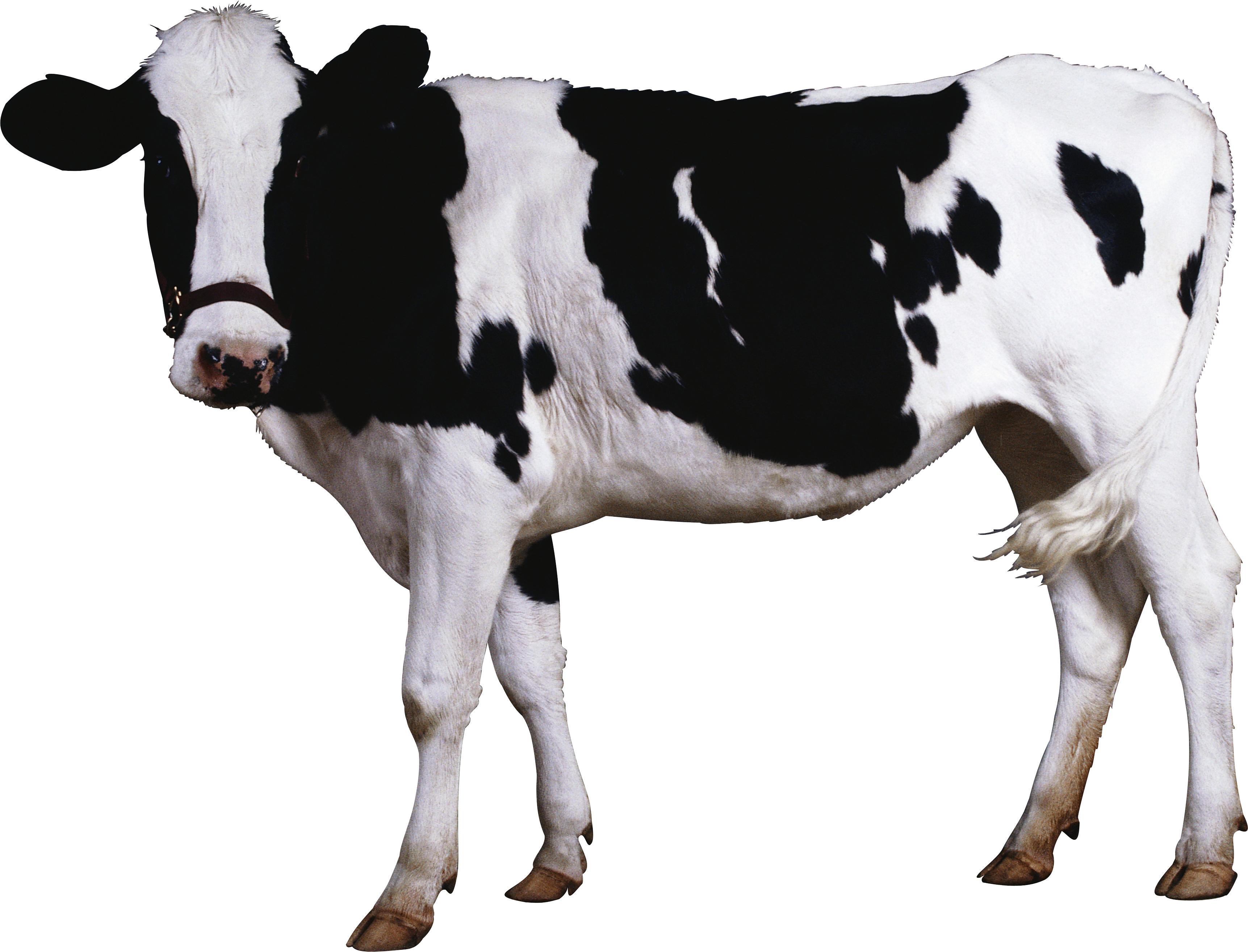 клипарт, скачать фото, обои на рабочий стол, пятнистая корова, cow