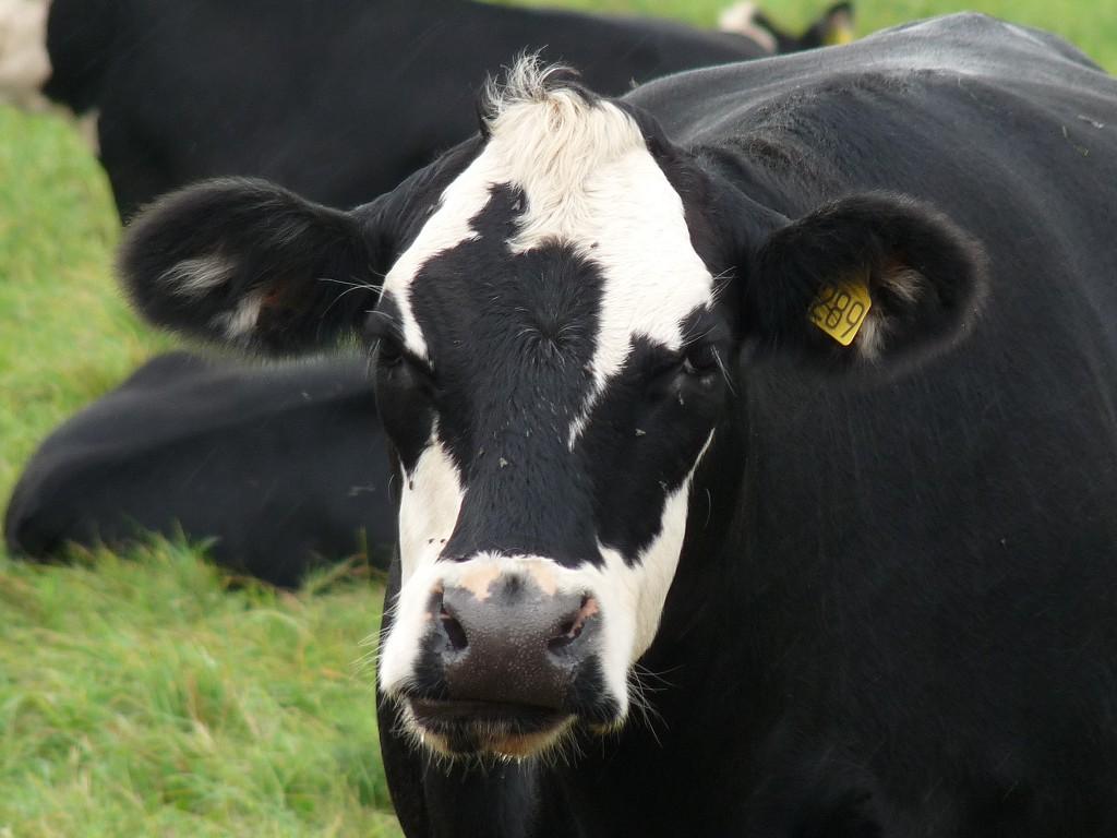 пятнистая корова, скачать фото, обои для рабочего стола, cow