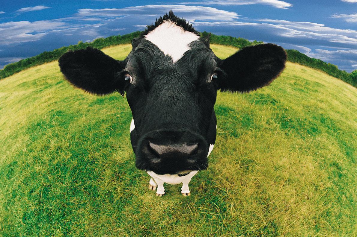 cow wallpaper, скачать морда коровы крупным планом, обои для рабочего стола