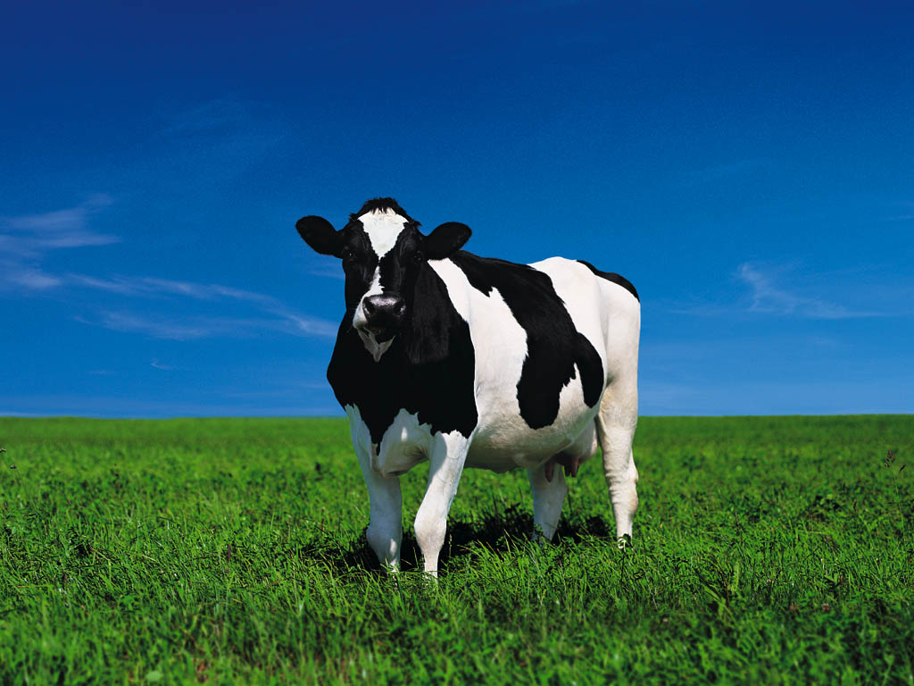 белая пятнистая корова на зеленом лугу пасется, скачать фото, cow wallpapers