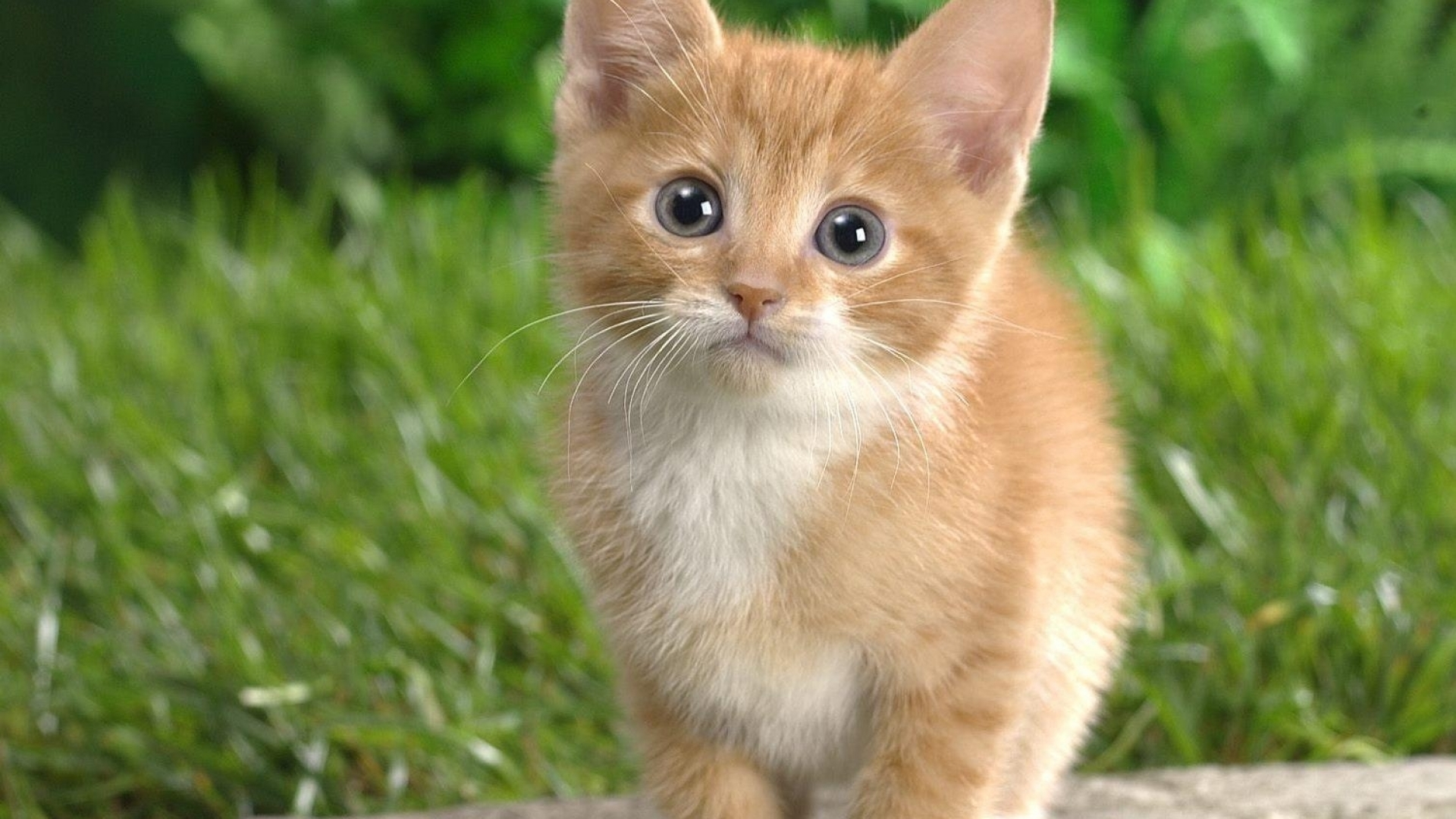 маленький рыжий котенок на фоне зеленой травы, скачать фото