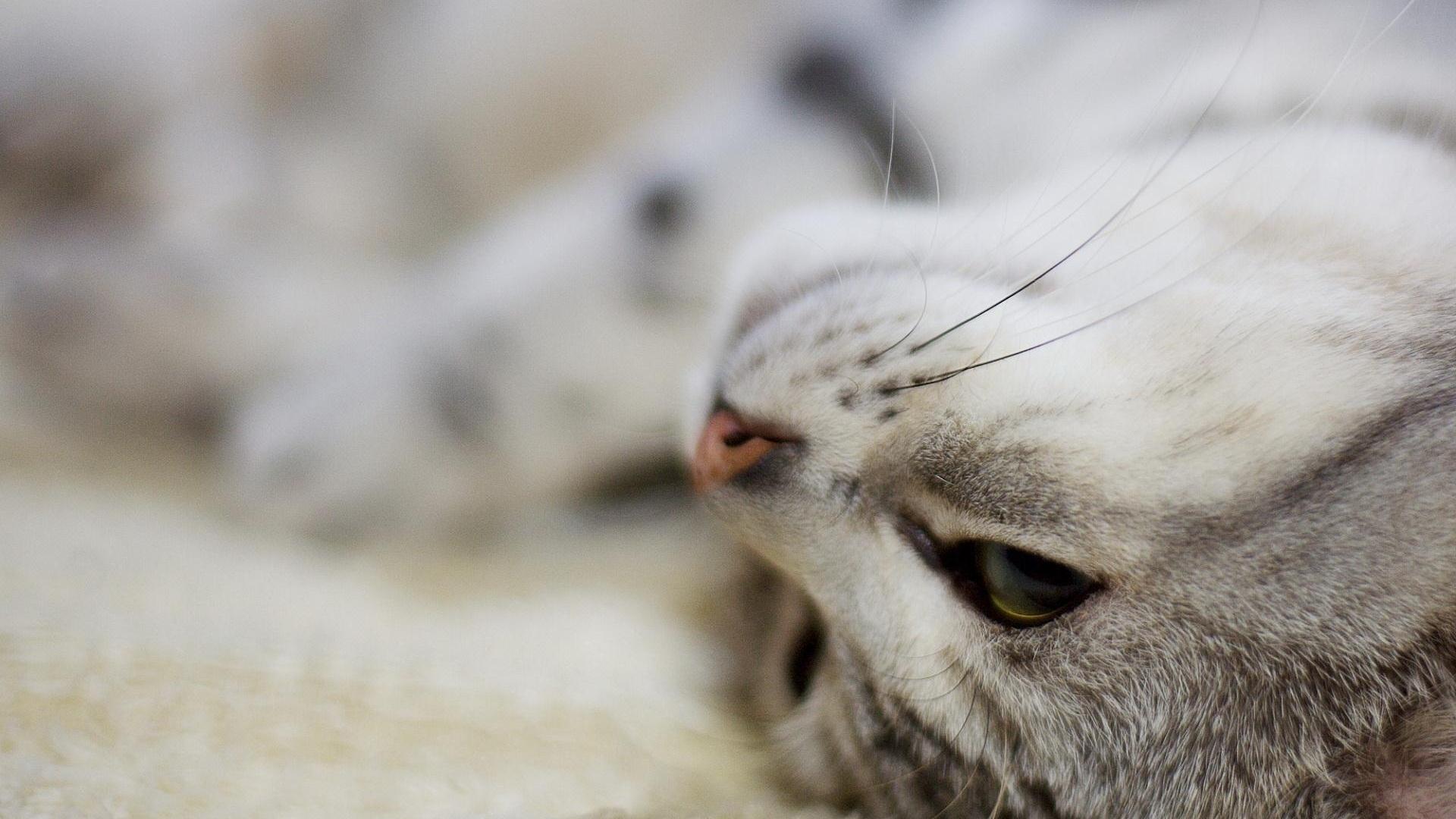 кот, кошка, спит, скачать обои для рабочего стола