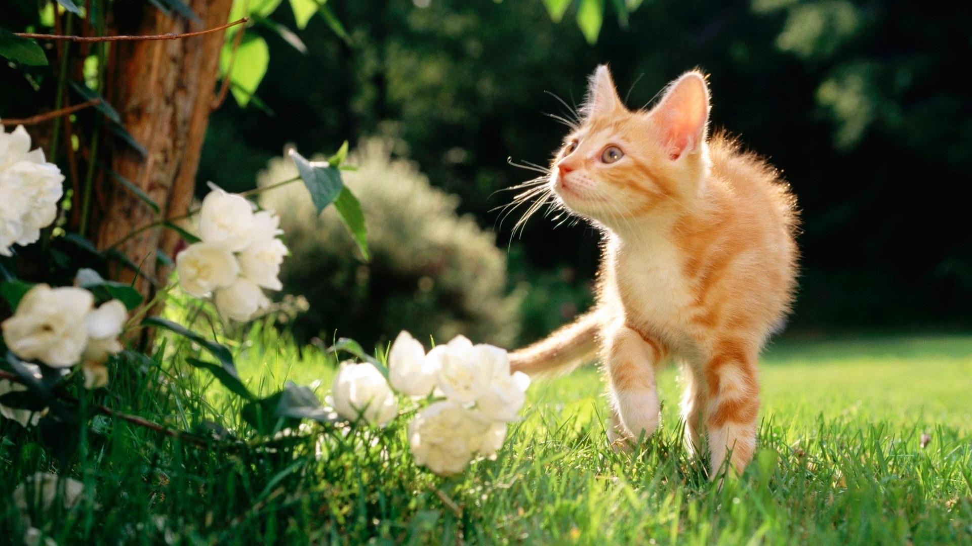 рыжий котенок гуляет по траве, зеленая травка, скачать фото