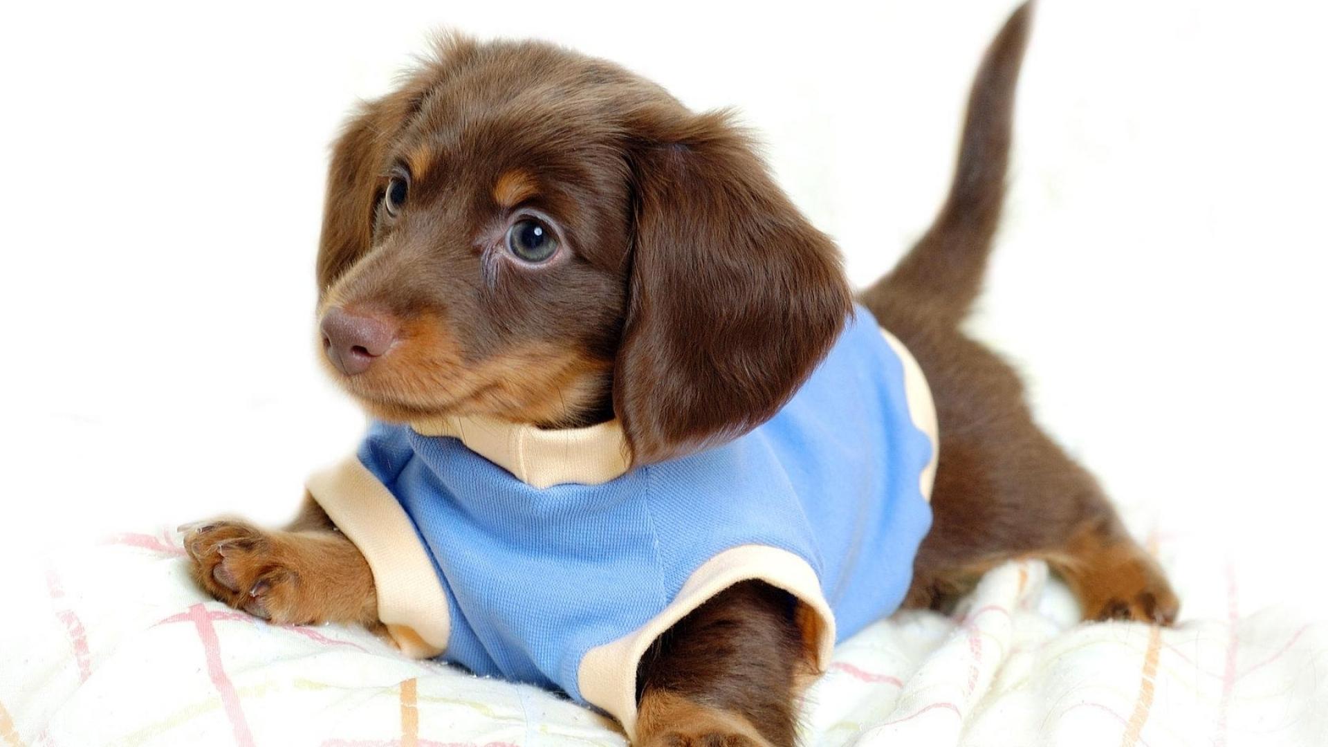 Маленький прикольный щеночек, щенок, пес, в голубой рубашке