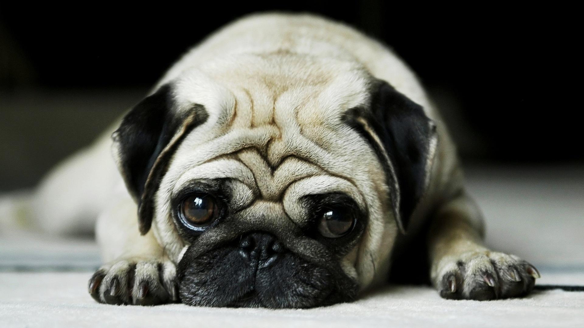 грустная собачка, скачать фото, обои для рабочего стола, мопс