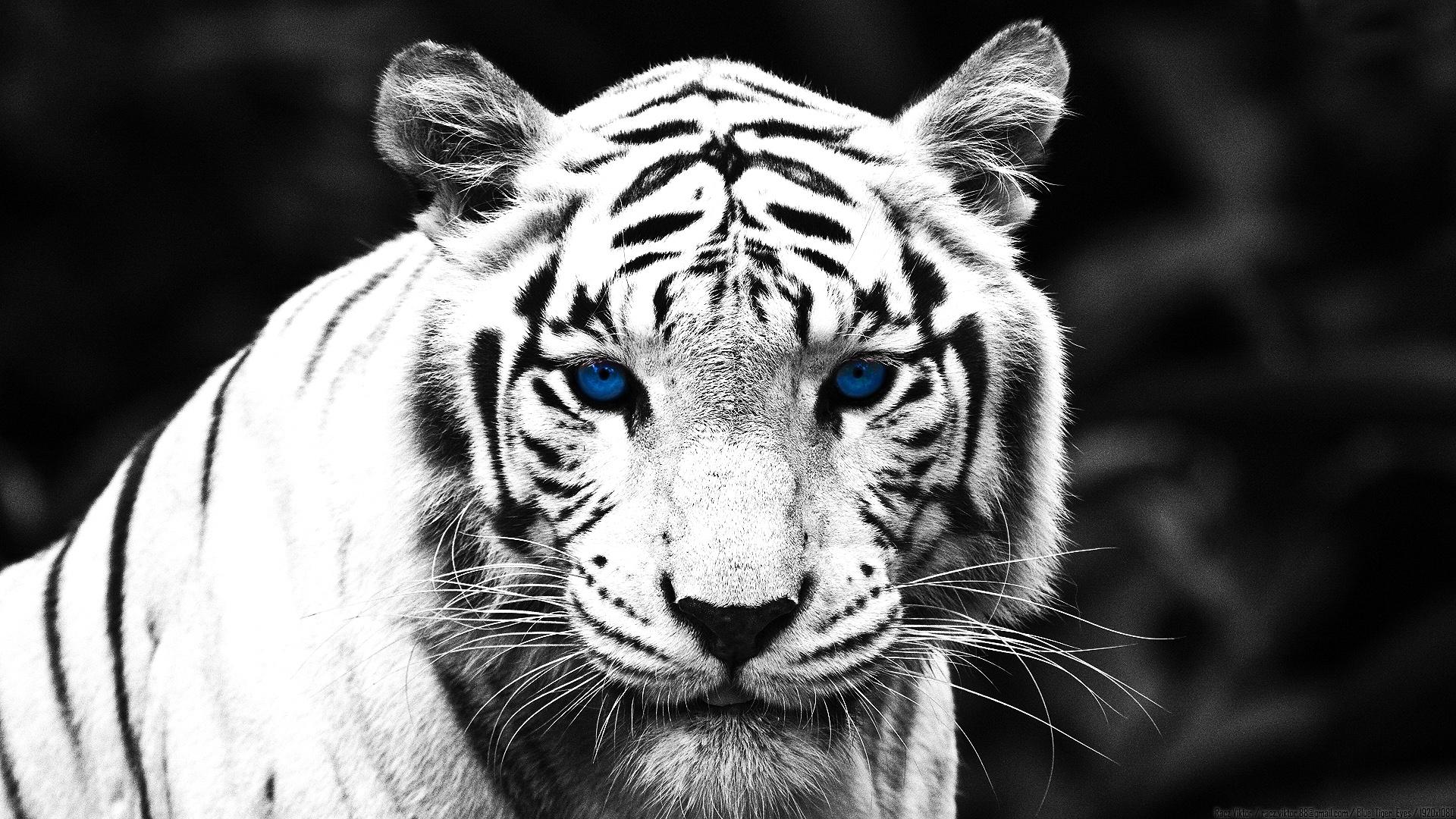 Красивые белый тигр, фото, обои для рабочего стола, скачать