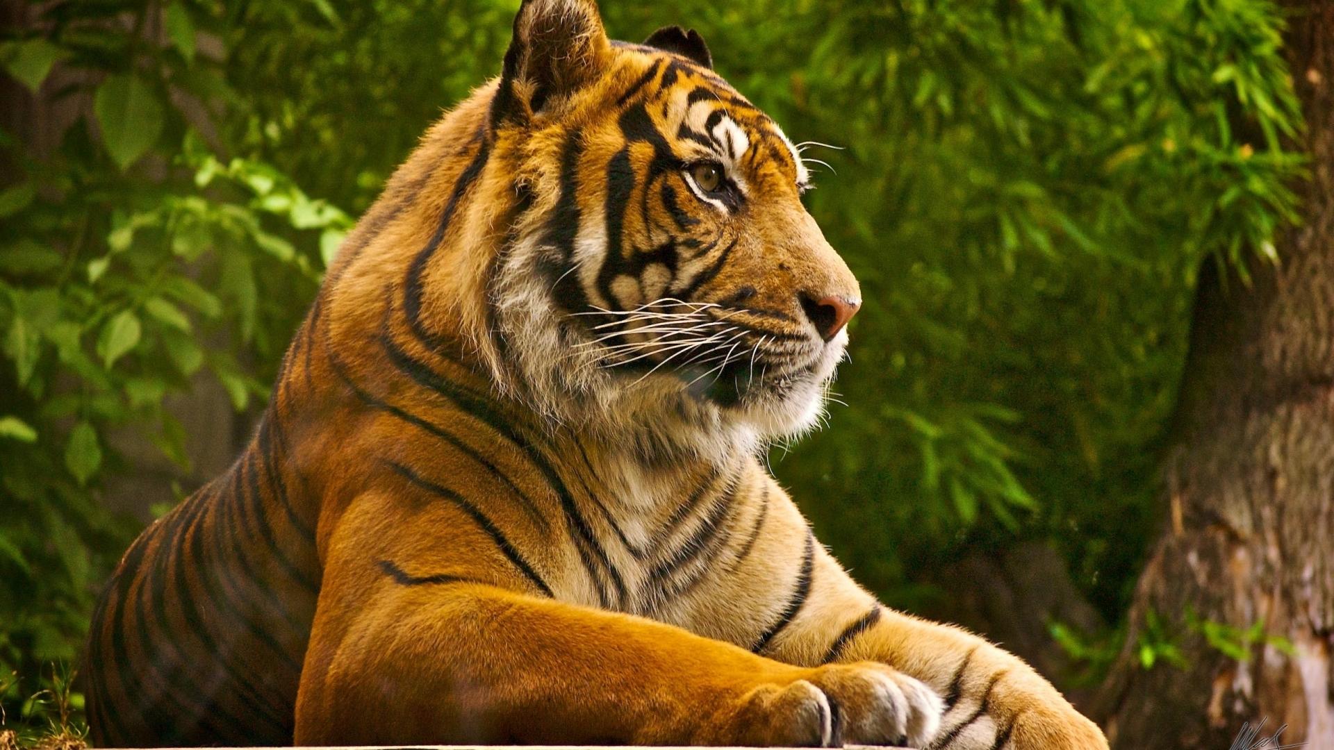 тигр лежит среди зелени, скачать фото