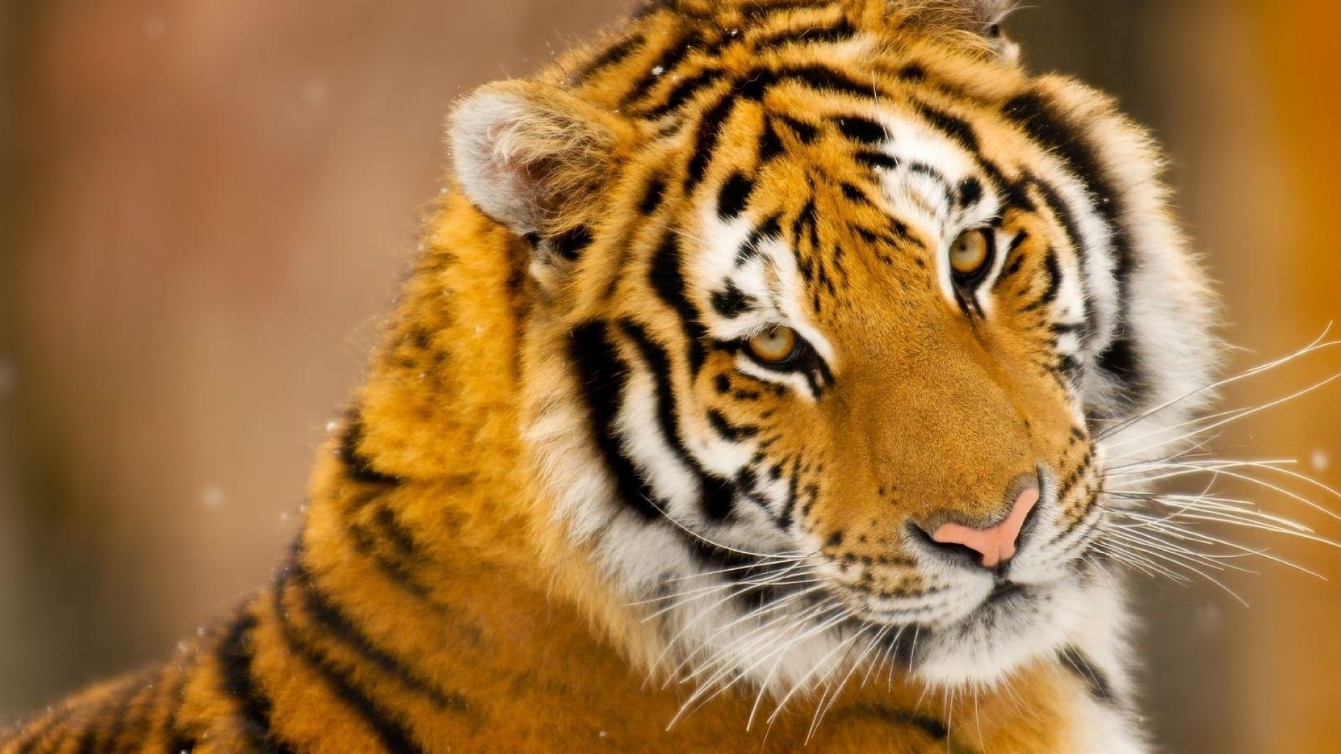 морда тигра, тигр, скачать фото, обои на рабочий стол
