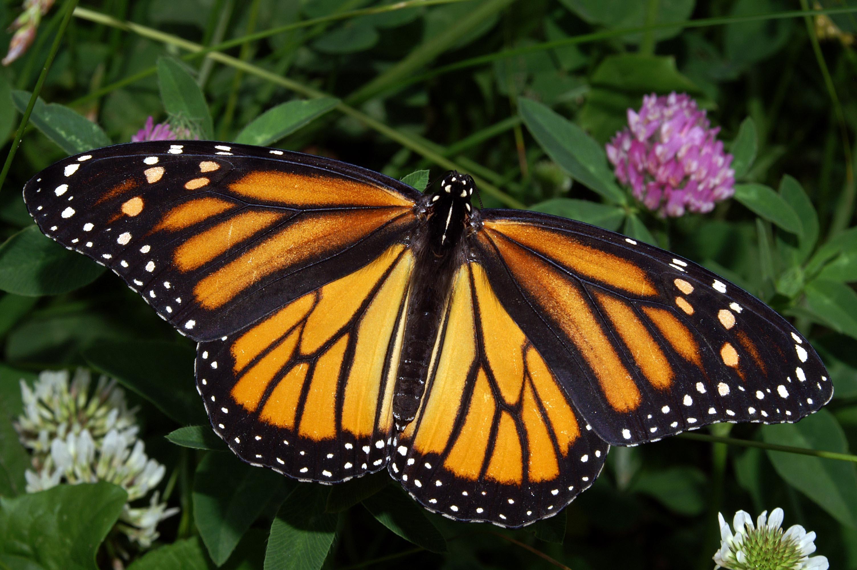 красивая большая бабочка