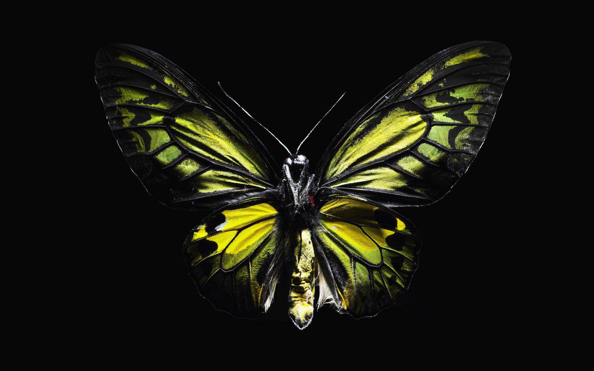 gree butterfly, зеленая бабочка на черном фоне, скачать обои для рабочего стола